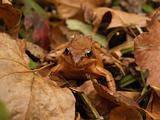 autumn brown frog in the fallen leaves