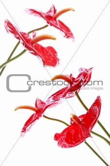 Bright Anthurium Flowers