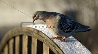 Depressed Pigeon