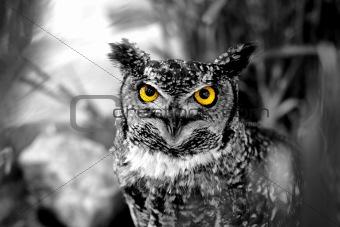 B&W Owl