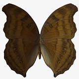 Butterfly-Beech Wing