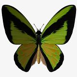 Butterfly-Birdwing Z