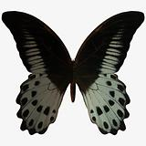 Butterfly-Marble Swallow Tail