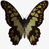 Butterfly-Swallow Tail