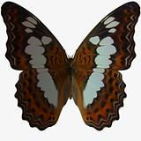 Butterfly-White Admiral