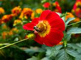 bee on the red yellow flower