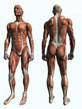 Muscle Male