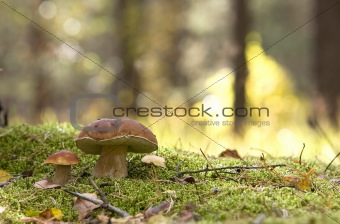 couple of mushrooms (Boletus edulis)