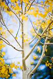 yellow leaves on aspen