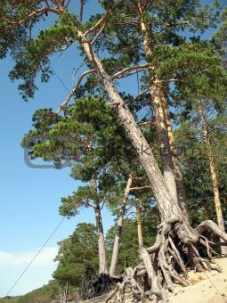 Pines wish to live