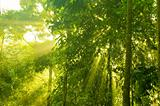 golden sunray in green forest