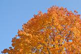 Tree in autumn colors against the blue sky