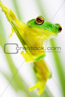 Green tree frog sitting on grass blade