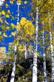 Autumn birches 3