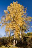 Autumn birches 4