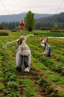 oganic strawberry field. Washington State