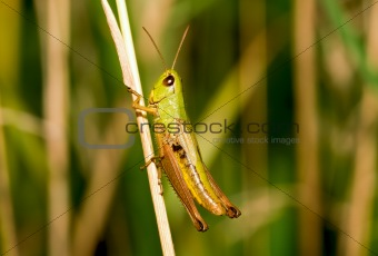 Considerable grasshopper