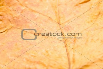 Autumn maple leaf 2
