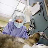 Veterinary Surgery