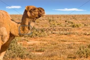 camel looking over desert