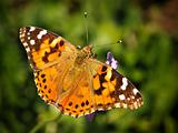 Furry Spotted Orange Spring Butterfly sitting on Green Vegetation