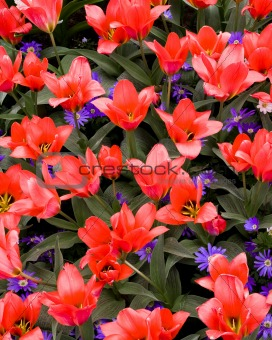 Greigii Tulip Coral Satin