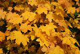 Yellow maple leafs in autumn
