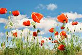 red poppies over sky background