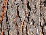 Pine bark close-up. Facture.