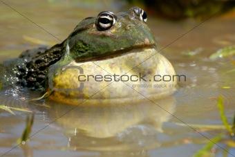 African giant bullfrog