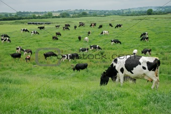 Freisian daisy cows