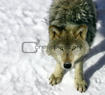 Gray Wolf Looking Up at You