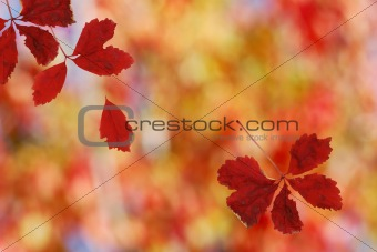 Bright red falling leaves
