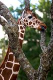 African Giraffe eating from a tree