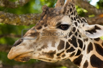 African Giraffe's head while eating from a tree