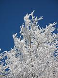 White hoarfrost and the dark blue sky