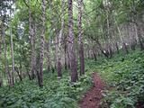 Birches in mountains of Kazakhstan