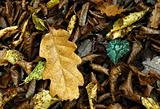 Yellow oak leafs