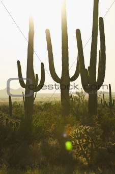 three cactus at sunset