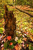 Tree stump in the fall