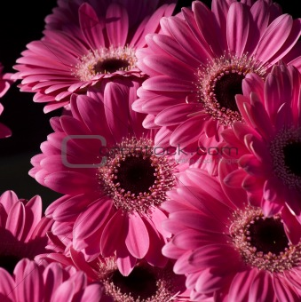 Bright Pink Gerbera Flowers
