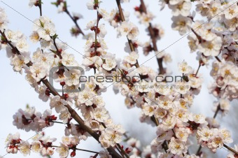 Almond in bloom