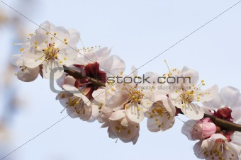 Almond branch in bloom