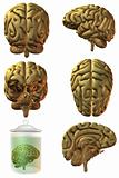 3D Human Brain