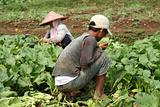 Vegetable field workers