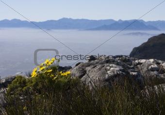 Daisies on Table Mountain