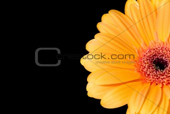 A gerbera daisy with a black background