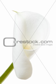 A calla lily on a white background