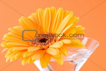 A gerbera daisy in a cocktail glass with an orange background
