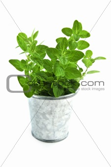 Fresh herbs - oregano